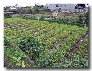 温泉空芯菜畑が広がる