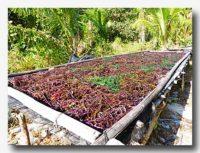コットニーやオゴノリの加工場 紅藻を干しているところ