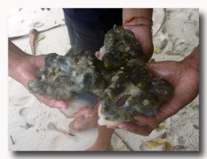 シャコ貝のむき身 3個分
