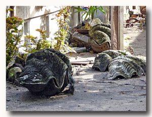 民家に放置してある巨大シャコ貝の貝殻