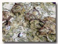 ンガトゥン 岩牡蠣もどき