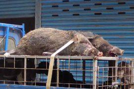 猟師さんに捕獲された猪