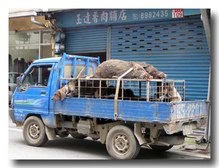 猟師さんに捕獲された猪が肉屋に納品