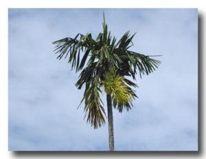 檳榔の木とつぼみ