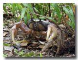 マングローブ蟹