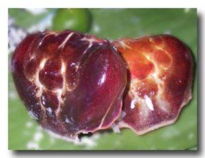 ゆでたマングローブ蟹の甲羅
